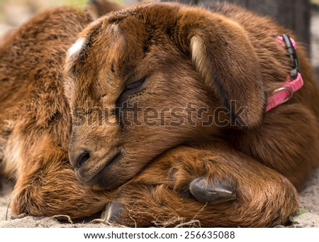 Closeup of a little tiny newborn baby goat kid curled up and sleeping outside on a farm or ranch alone looking adorable cute fluffy peaceful exhausted unaware - stock photo