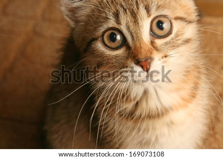 Closeup of a long hair scary yong cat - stock photo