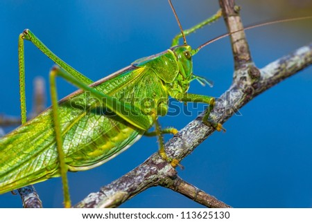 Closeup of a Long Horned Grasshopper on a branch - stock photo
