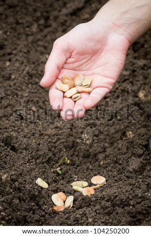 Closeup of a males hand planting bean seeds - stock photo
