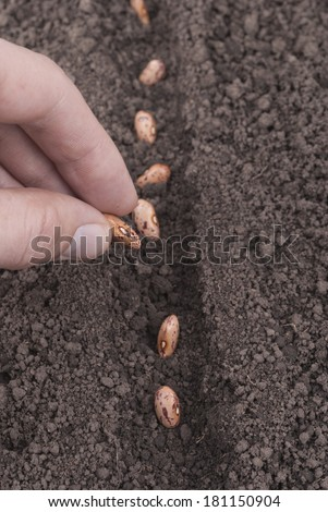 Closeup of a males hand planting bean seeds