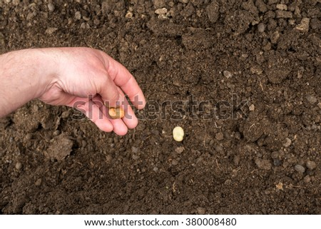 Closeup of a males hand planting broad bean seeds into a furrow in soil
