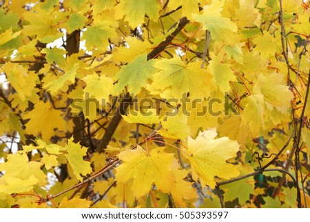 Closeup of a maple tree during the changing colors of fall.