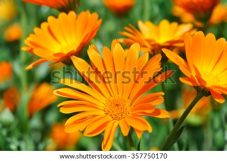 closeup of a medical  marigold flowers in the meadow - stock photo