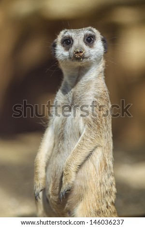 Closeup of a meerkat in front of blurred background