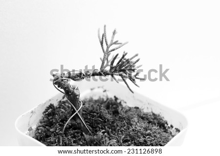 closeup of a miniature tree planted in a container (bonsai) - stock photo
