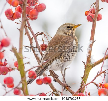 Closeup of a mistle thrush bird sitting on a snow covered apple tree