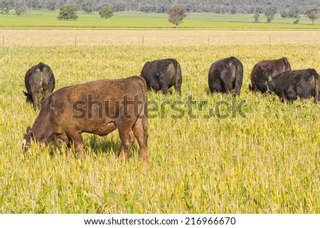 closeup of a mob of angus cattle grazing in a grass pasture - stock photo