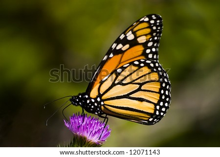 Closeup of a monarch butterfly on a thistle flower