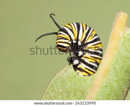 Closeup of a Monarch caterpillar feeding on a Milkweed leaf - stock photo