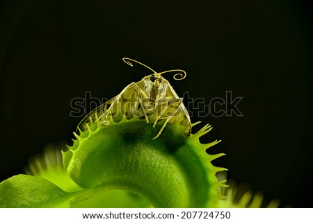 Closeup of a moth as prisoner in a Venus flytrap, Dionaea muscipula. The moth was too big for the trap, but was unable to escape and became food. Extreme details are due to stacked images. Isolated. - stock photo