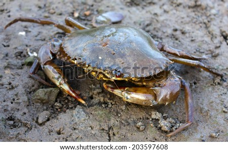Closeup of a mud crab - stock photo