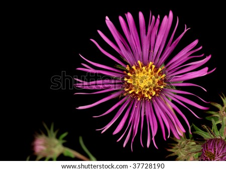 Closeup of a new england aster (Symphyotrichum novae-angliae) isolated on black