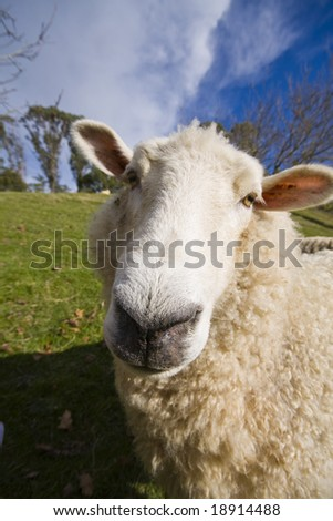 Closeup of a New Zealand sheep with a wide angle lens - stock photo