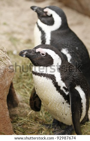 closeup of a penguin