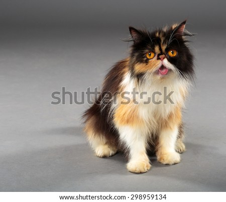 Closeup of a persian cat with brown eyes and long hair, isolated on grey - stock photo
