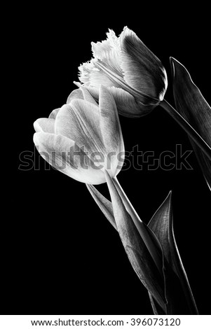 Closeup of a pink fringed tulip, tulipa crispa, and a common red tulip on black background. Black and white photo. - stock photo