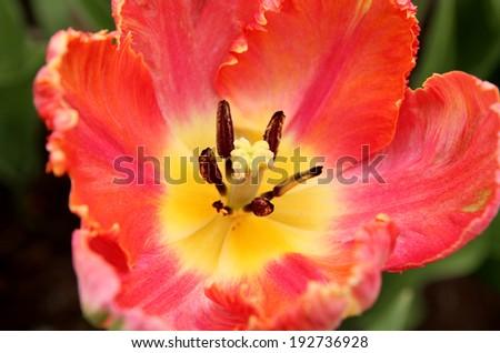 Closeup of a pink tulip core, Tulip Festival, Ottawa, Canada - stock photo