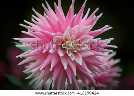 Closeup of a pink white colored dahlia flower in a natural environment - stock photo