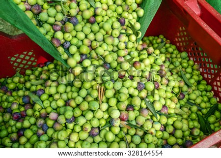 closeup of a plastic crate full of arbequina olives during the harvesting in an olive grove in Catalonia, Spain - stock photo