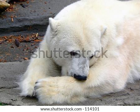 Closeup of a polar bear - stock photo