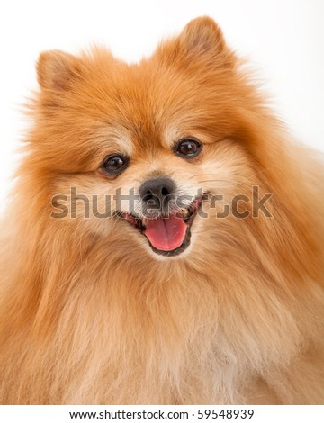 Closeup of a Pomeranian dog - stock photo