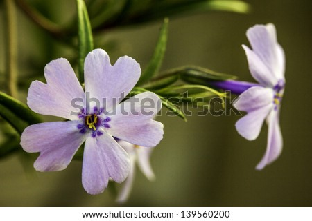 Closeup of a Pretty Pink and Purple Flower with Green Bokeh Background - stock photo