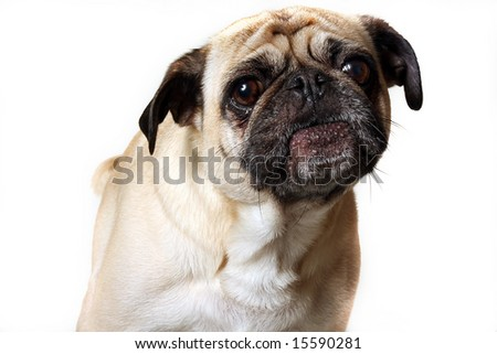 Closeup of a Pug barking.