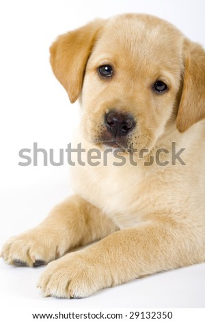 closeup of a  Puppy Labrador retriever