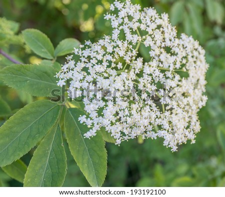 Closeup of a pure white and yellow blossoming European Elderberry or Sambucus nigra shrub in the spring season. - stock photo