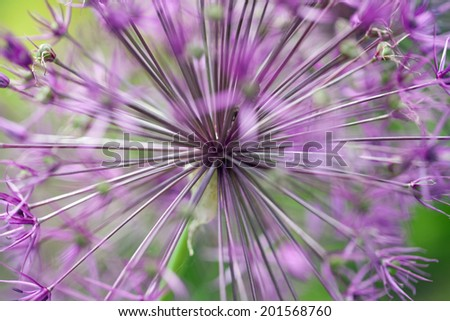 Closeup of a Purple Allium Flower - stock photo
