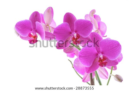 Closeup of a purple orchid