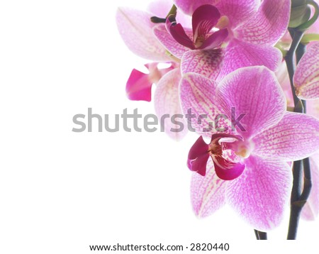 Closeup of a purple orchid isolated on white - stock photo