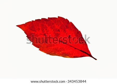 Closeup of a Red  Autumn Leaf - Isolated on White - stock photo