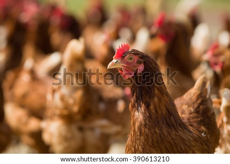 Closeup of a red chicken on a farm in nature. Hens in a free range farm. Chickens walking in the farm yard. - stock photo