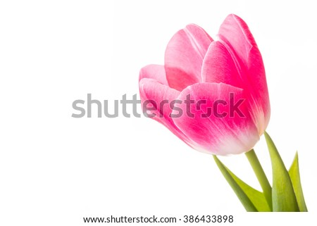Closeup of a red common tulip on white background - stock photo