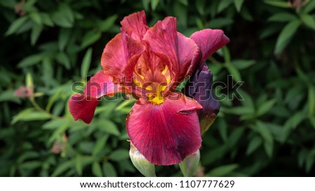 Closeup of a red iris blossom isolated on a bed of green leaves