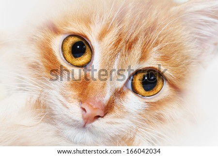 Closeup of a red mongrel cat snout with wide open eyes