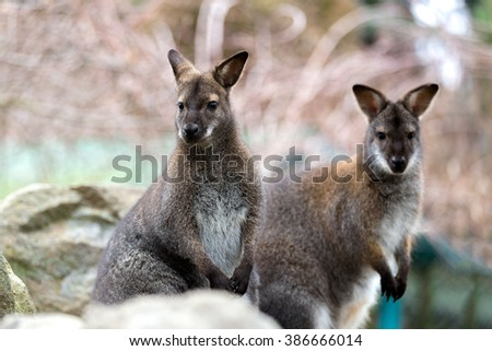 Closeup of a Red-necked Wallaby kangaroo (Macropus rufogriseus) Female with baby in bag - stock photo