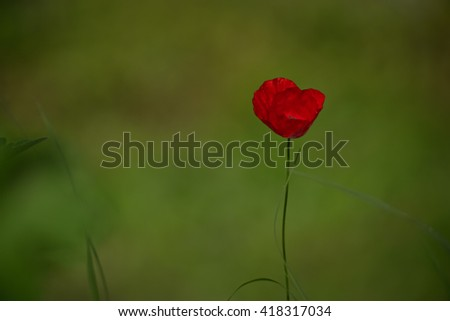 Closeup of a red poppy on vibrant green background - stock photo