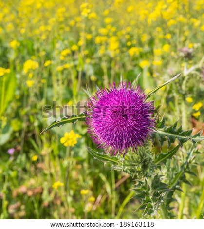 Closeup of a red-purple blooming  thistle in its natural habitat. - stock photo