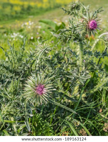 Closeup of a red-purple budding  thistle in its natural habitat. - stock photo