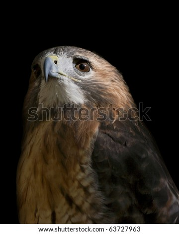 closeup of  a red tailed hawk