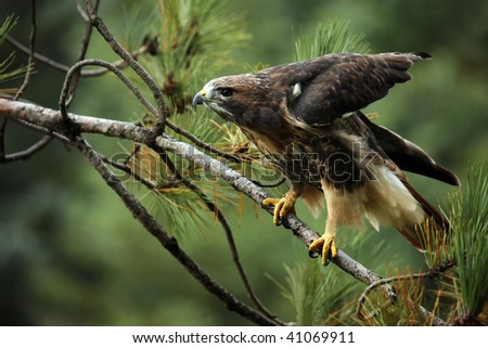 Closeup of a Red-Tailed Hawk ready to take flight. - stock photo