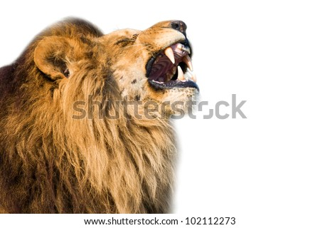 Closeup of a roaring african lion - isolated on white background