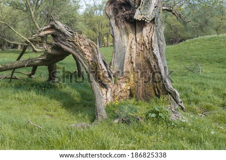 Closeup of a rotten old willow tree in the grass.