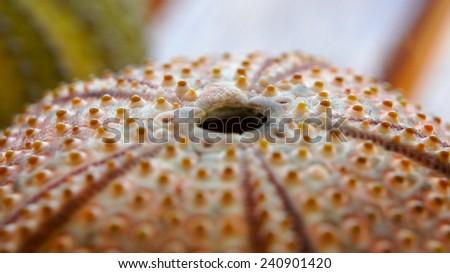 Closeup of a sea urchin - stock photo