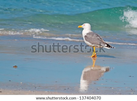 closeup of a seagull walking by the foreshore in Stintino - stock photo