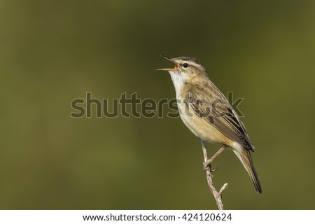 Closeup of a Sedge Warbler bird, Acrocephalus schoenobaenus, singing to attract a female during breeding season in Springtime - stock photo