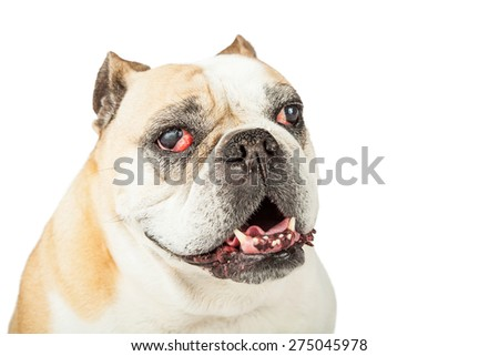 Closeup of a senior bulldog with red bloodshot eyes looking into the camera.